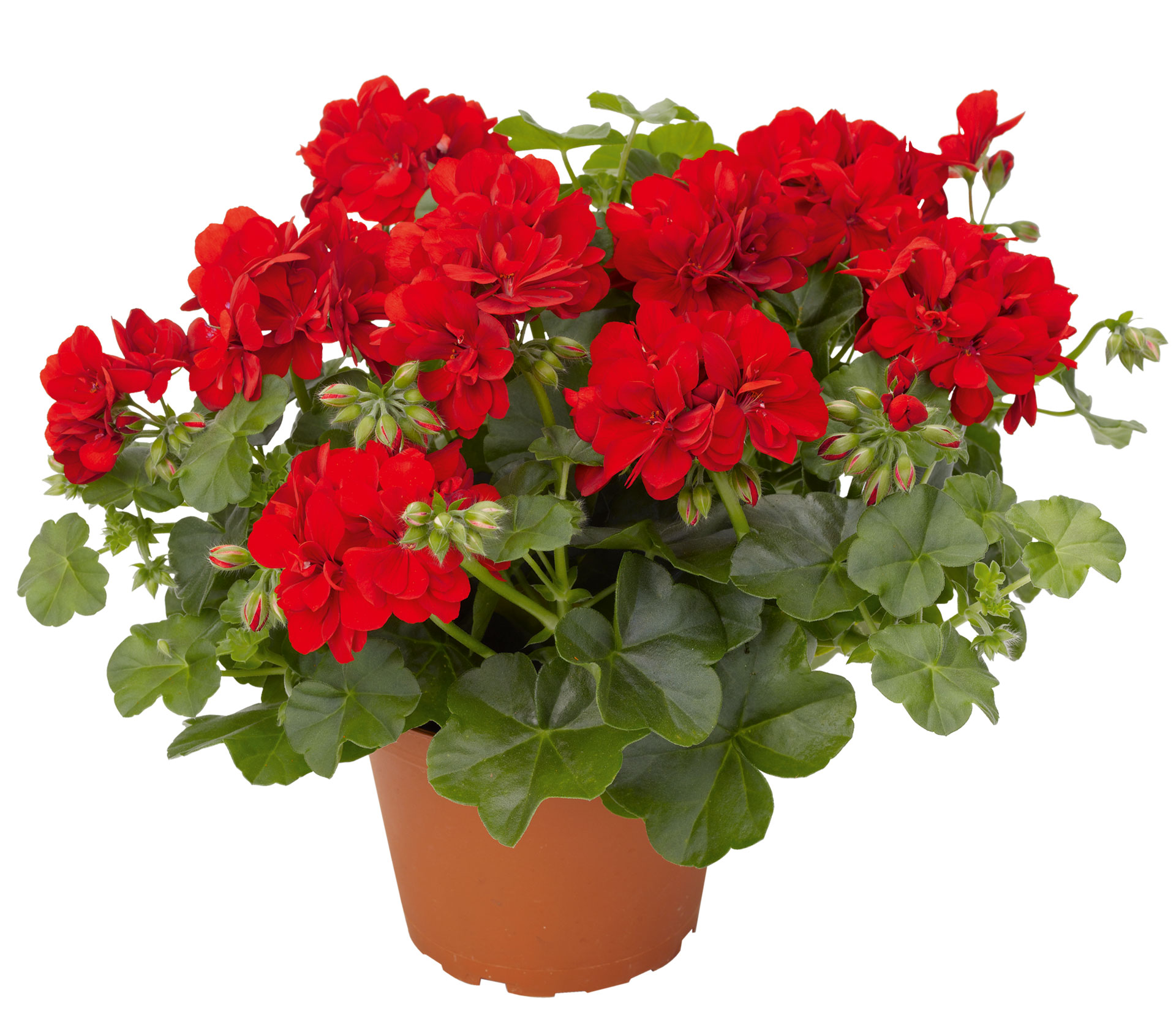 Цветы картинки герань 2